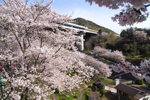 廿日市市 大田神社の桜の写真2