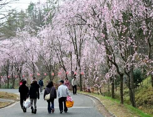 世羅甲山ふれあいの里、降り注ぐしだれ桜のカーテン