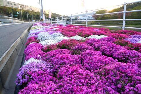 郷原カントリークラブ 入口に咲く芝桜3