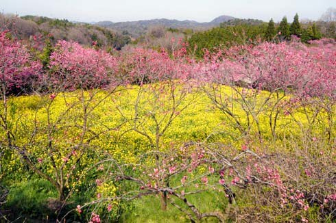 世羅 ラスカイファーム 菊桃と菜の花を上から見た写真