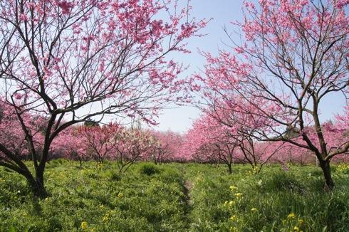 世羅 ラスカイファーム 菊桃の画像2
