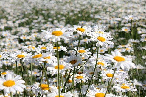 因島 除虫菊の画像