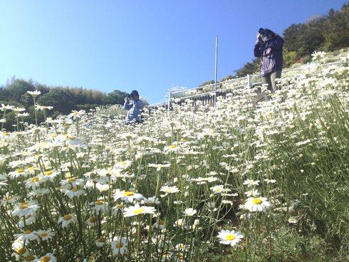 因島 除虫菊を写真とりにきた人