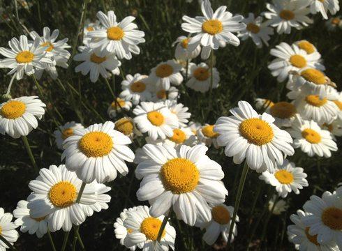 因島 除虫菊のアップ画像