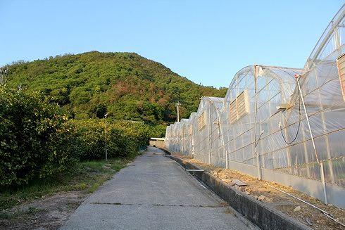 瀬戸田 レモン谷を登る 写真