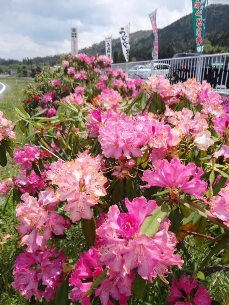 福富物産しゃくなげ館の前の シャクナゲの花