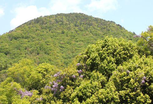 白木山と藤の花