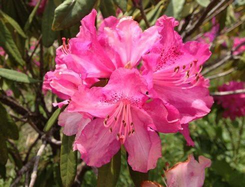 クロボヤ峡の シャクナゲが開花