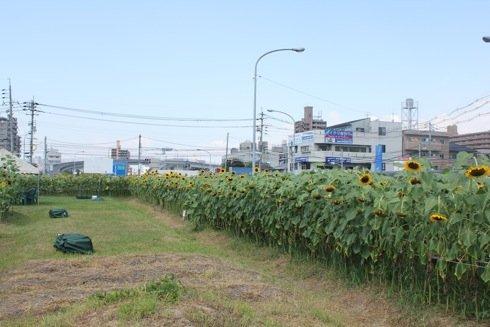 海田町の ひまわり畑の敷地内の様子