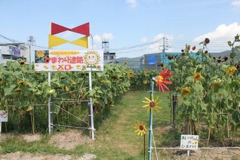 海田町の ひまわり畑 ひまわり迷路の画像