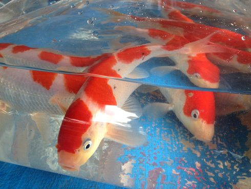 佐伯錦鯉市場 紅白の鯉