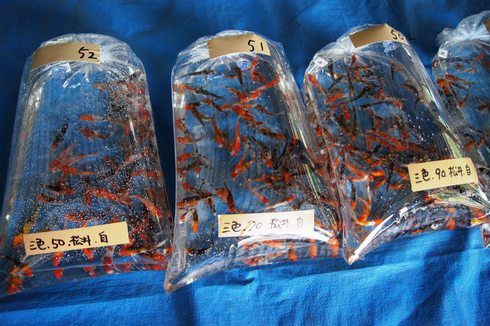 佐伯錦鯉市場 鯉の画像2