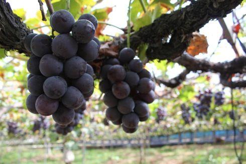 平田観光農園、ピオーネなど 果物狩りが楽しめるフルーツの森