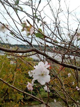 ヒカンザクラ(寒緋桜)、秋に咲く桜が 広島でチラホラ咲く風景