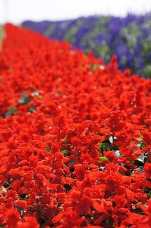 世羅高原農場 赤いサルビア