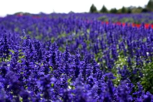 世羅高原農場 紫のサルビア