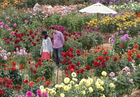 世羅高原農場 ダリア祭、400種のダリアが咲き乱れる