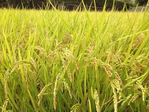 広島県北の秋、田んぼが変身していく風景