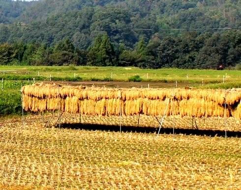 お米を収穫後、天日干ししている様子