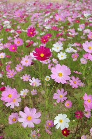 世羅ゆり園 コスモスの花