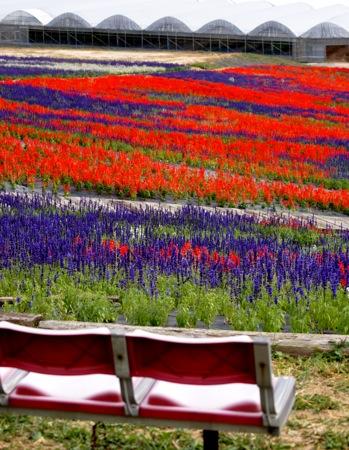 世羅ゆり園 サルビアの花24