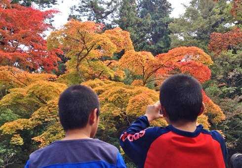 宮島 紅葉谷公園の紅葉が見ごろに
