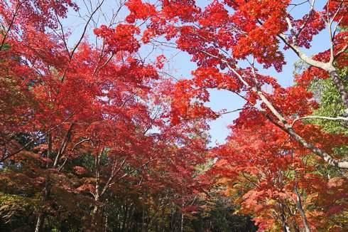 三倉岳の紅葉 赤いトンネル