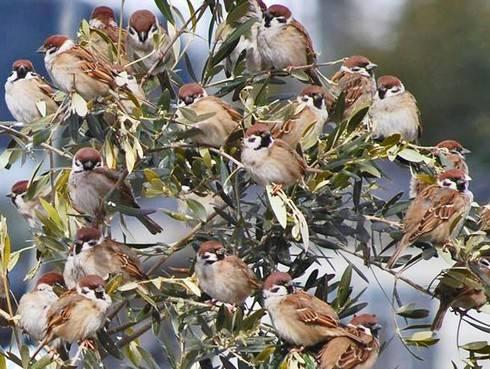 スズメが集まる木、1本の木の枝に雀がビッシリ