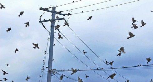 電線に群がる、すずめたち