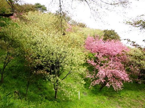 緑の桜 御衣黄(ぎょいこう) 画像10