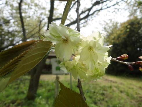 緑の桜 御衣黄(ぎょいこう) 画像17