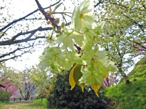 緑の桜 御衣黄(ぎょいこう)、島根・三刀屋城址公園で2度目のお花見を