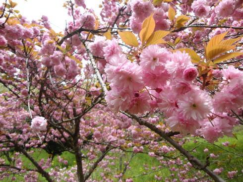 緑の桜 御衣黄(ぎょいこう) 画像7