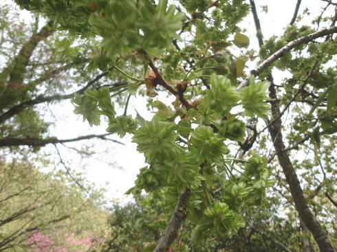 緑の桜 御衣黄(ぎょいこう) 画像9