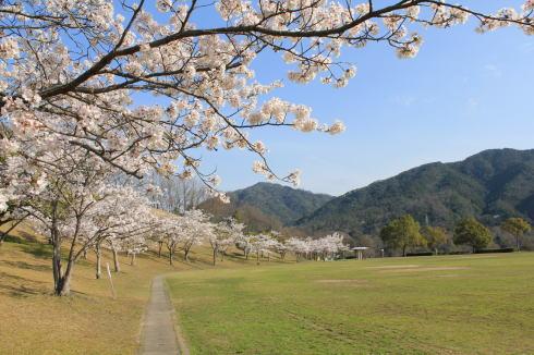 可部運動公園の桜 画像8