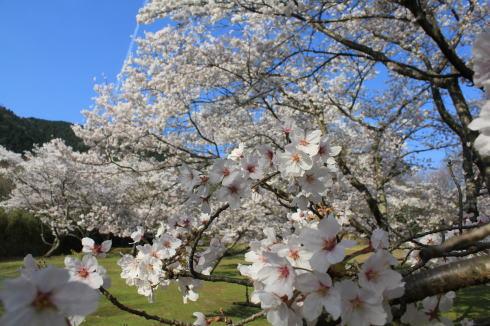 可部運動公園の桜 画像5