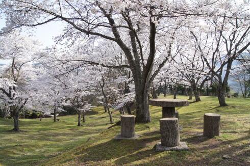 可部運動公園の桜 画像3