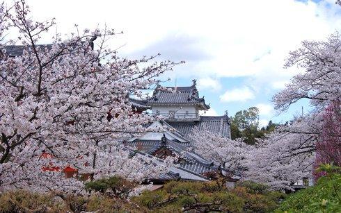 耕三寺、桜が満開に