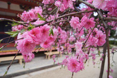瀬戸田・耕三寺の枝垂桜