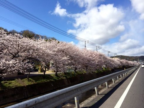 尾道 桜土手、川べりにおよそ1.7kmの桜が咲き誇る