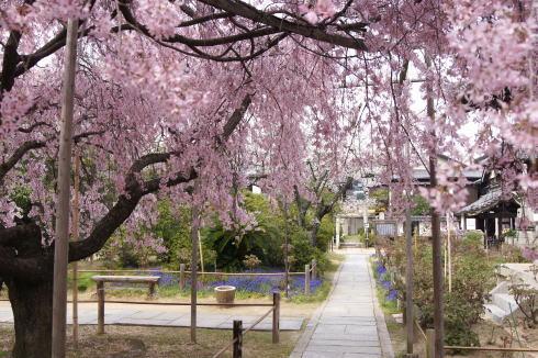 尾道 天寧寺 しだれ桜の画像2