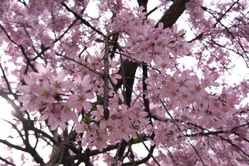 尾道 天寧寺 しだれ桜の画像3