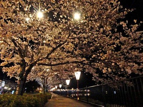 上野公園桜まつり、夜桜もライトアップで美しく 広島県庄原市