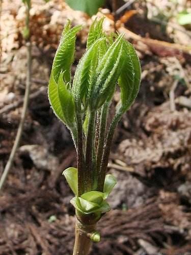 コシアブラの新芽を、北広島町で バカノメと呼ぶ