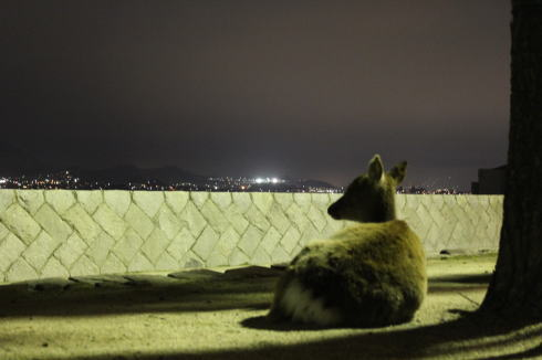 宮島の鹿の画像8