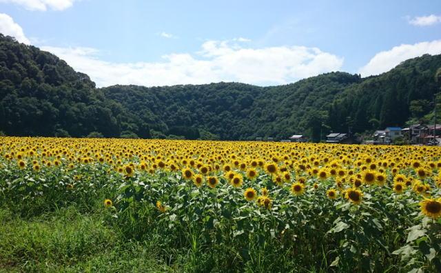 君田ひまわり畑 画像3