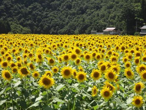 君田ひまわり畑が満開、刈取り日までは鑑賞・摘み取りも