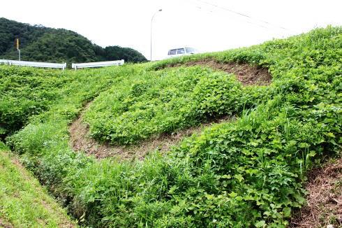 三次 カープの草刈りアート 画像2