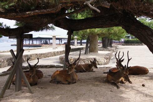 宮島の鹿の画像3