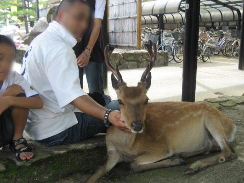 宮島の鹿の画像 2